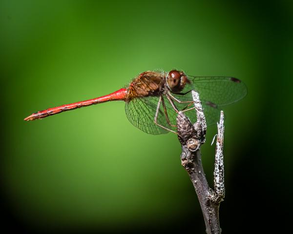 Meadowhawk (male)