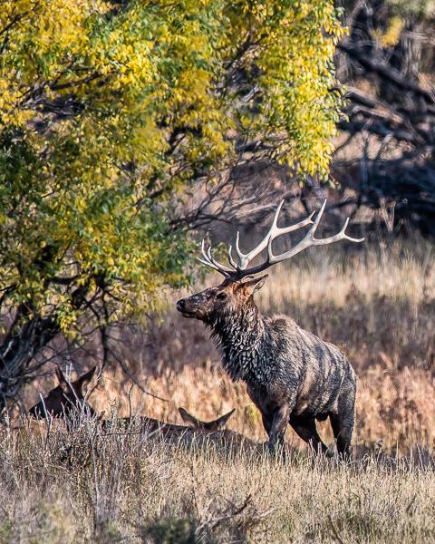 Elk Rut #1