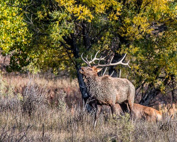Elk Rut #2