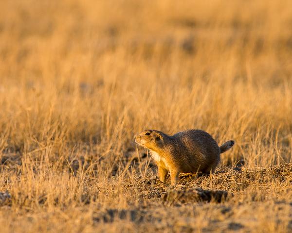 Prairie Dogs #1