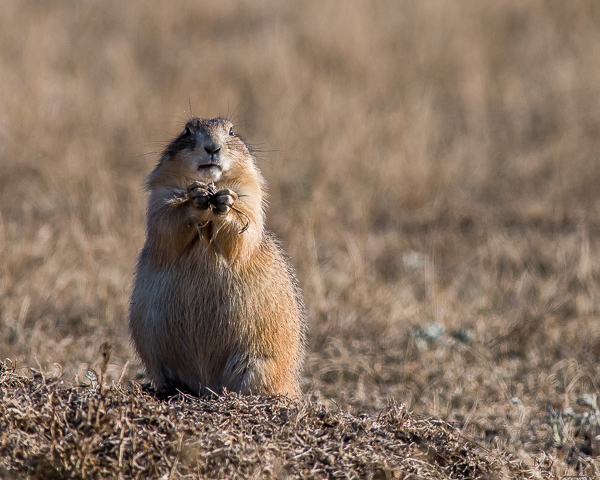 Prairie Dogs #2