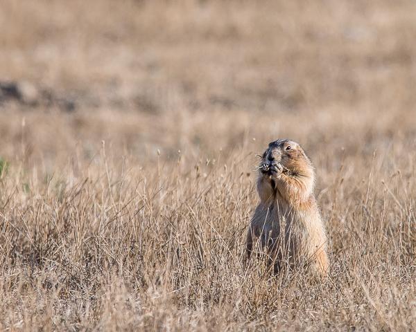 Prairie Dogs #3
