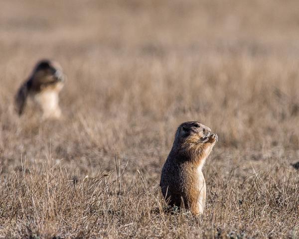 Prairie Dogs #5