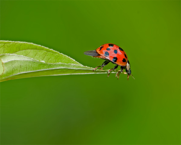 Ladybug Leap