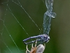 Spider with Prey (Variable Dancer)
