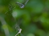 Pair of Variable Dancers in Spider Web