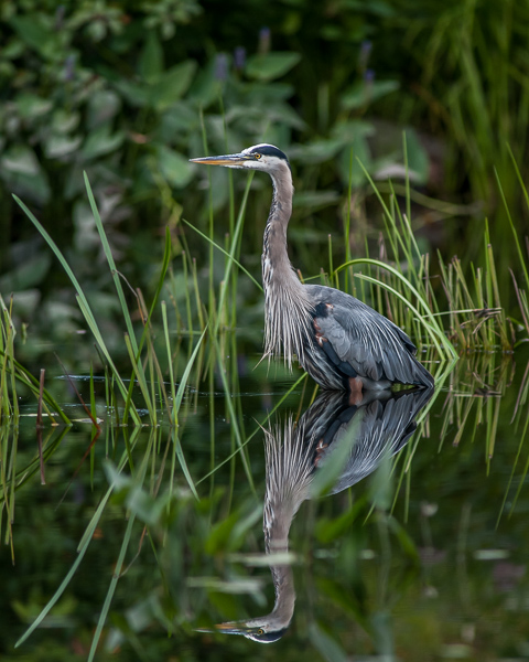 Great Blue Heron #3