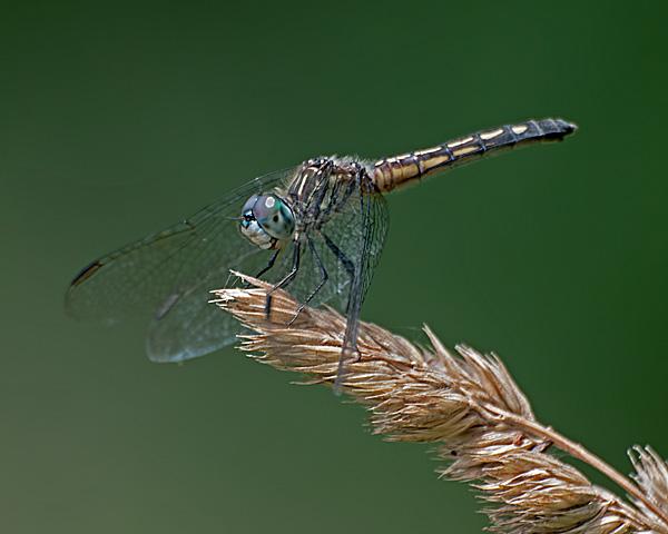 Blue Dasher (female)