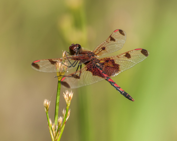 Calico Pennant (male) #1