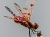 Calico Pennant (male) Oblisking