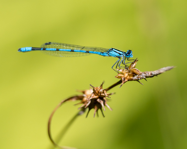 Bluet (male, probably a Northern)