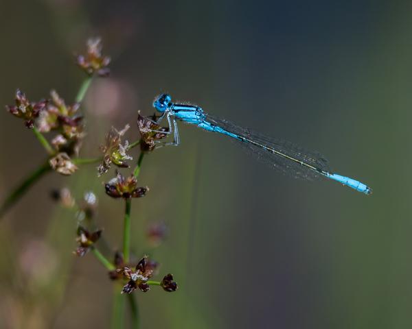 Slender Bluet (male)
