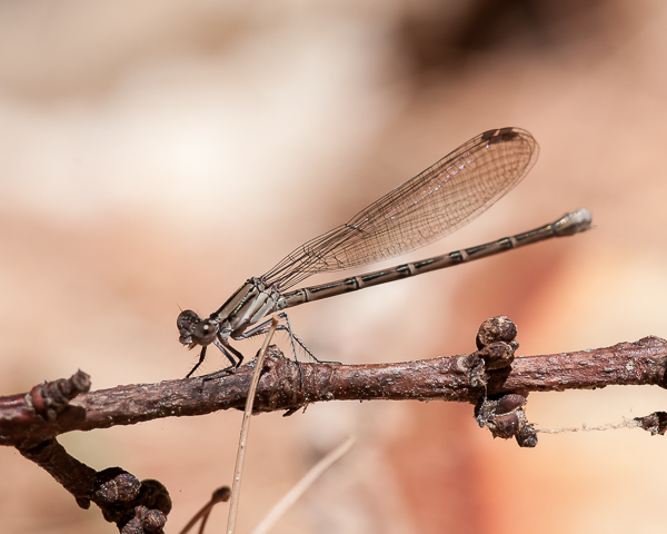 Bluet sp. (female)