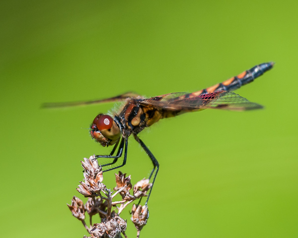 Calico Pennant (maturing male)