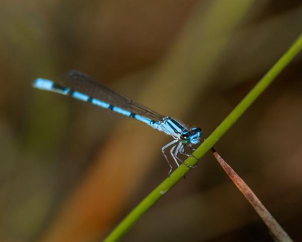 Bluet sp (male)