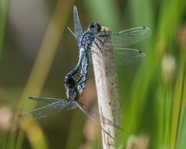 Frosted Whiteface (mating wheel)