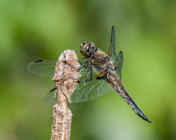 Four-spotted Skimmer #2