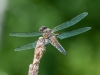 Four-spotted Skimmer #1