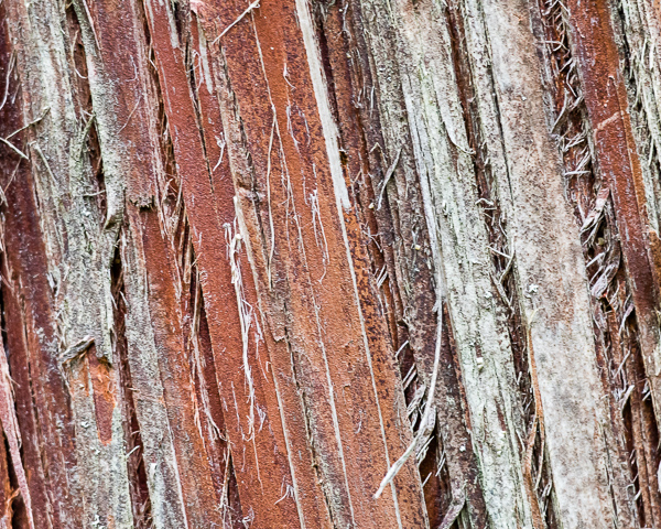 Atlantic White Cedar Bark (detail)