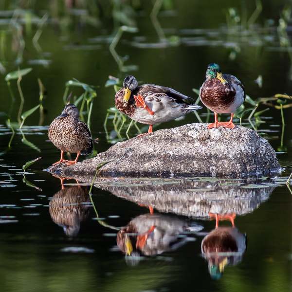 Mallards - youngster, female, male (l-r)