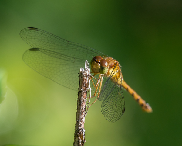 Autumn Meadowhawk (female)