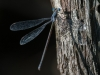 Spreadwing #2