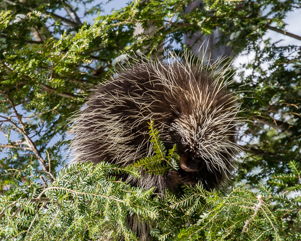 Porcupine Lunchtime #1