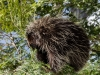 Porcupine Lunchtime #2