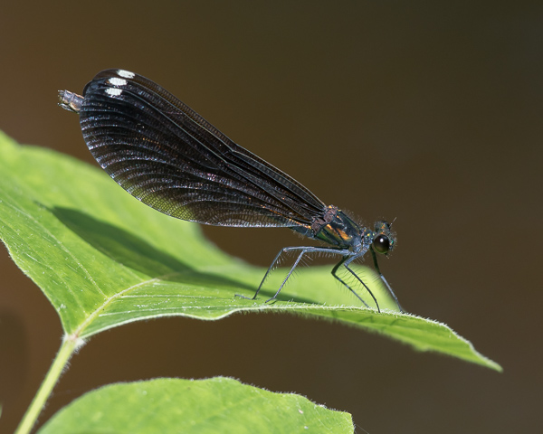 Ebony Jewelwing (female) #1