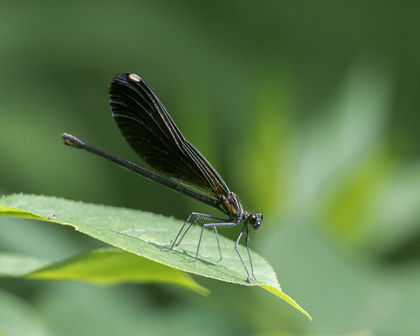Ebony Jewelwing (female) #2