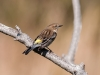 Yellow Rumped Warbler #3