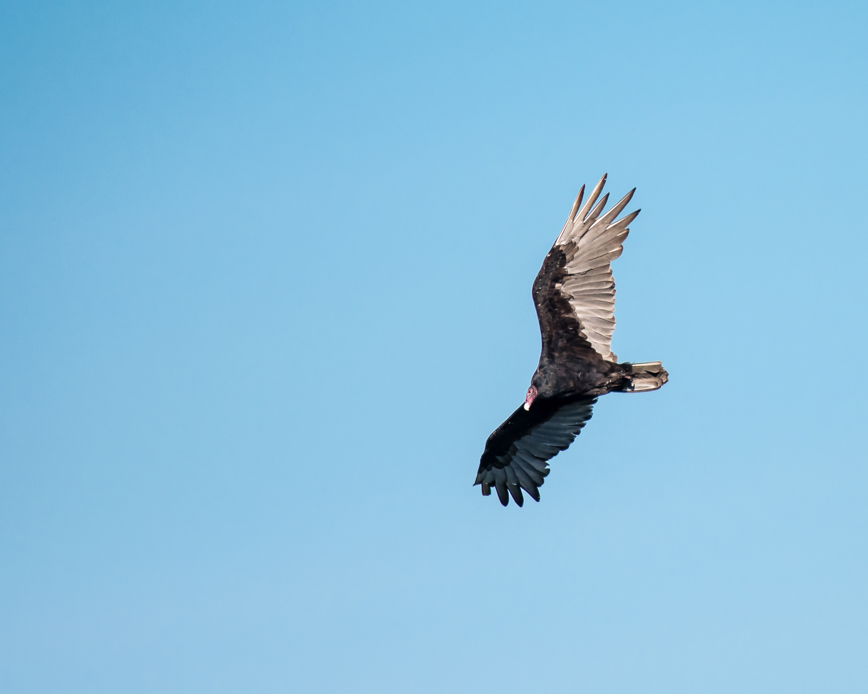 Turkey Vulture #3
