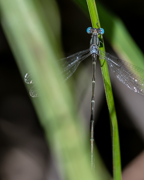 Slender Spreadwing (male) ?