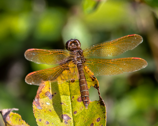 Eastern Amberwing (male)