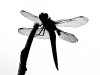 Dragonfly Silhouette #1