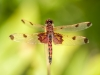 Calico Pennant (almost mature male)