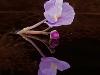 Eastern Purple Bladderwort