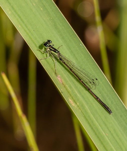 Bluet (female, probably a Marsh Bluet)