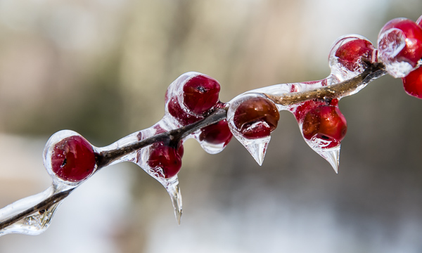 Winter Berries Under Ice
