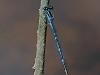 Stream Bluet (male)