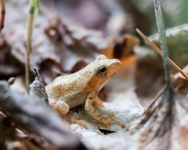 Immature Woodfrog