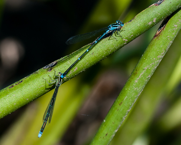 Stream Bluet (pair)
