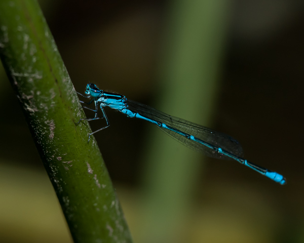Stream Bluet (male)