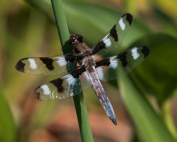 Twelve-spotted Skimmer (male)