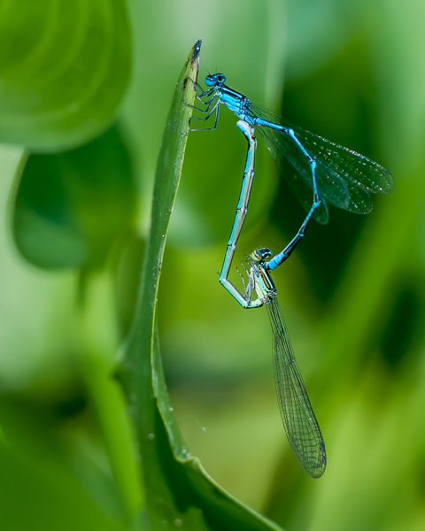 Stream Bluet (mating wheel)