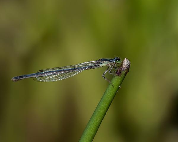 Eastern Forktail (female) ?