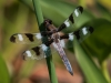 Twelve-spotted Skimmer (male)