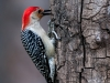 Red-bellied Woodpecker #3