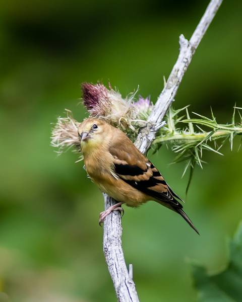 Goldfinch (juvenile?)