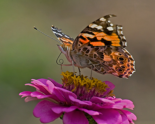 Painted Lady #1